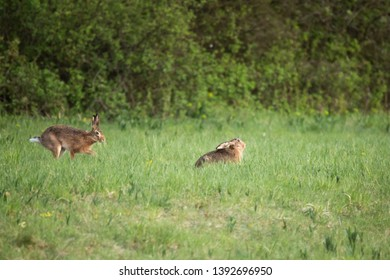 European brown hares (Lepus europaeus) in meadow, Slovakia, Europe