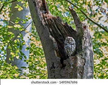 European brown owl on a broken beech tree