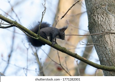 European brown squirrel in winter coat on a branch in the forest