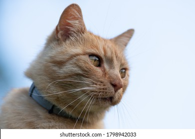 European cat with a collar against ticks and mosquitoes