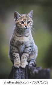 European cat sitting