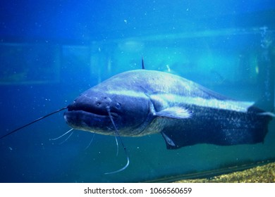 The European catfish (Silurus glanis) is a large freshwater scaly fish of the catfish family