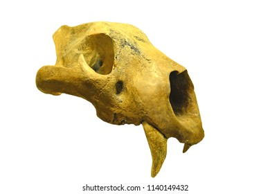 A European cave lion (panthera spelea)  skull from the last Ice Age with immense canine teeth. Isolated against a white background