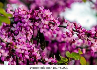 Cercis européens, ou Judas, ou encore scarlet européen. Gros plan sur des fleurs roses de Cercis siliquastrum. Cercis est un arbre ou un arbuste, une espèce du genre Cercis de la famille des légumineuses ou Fabaceae.