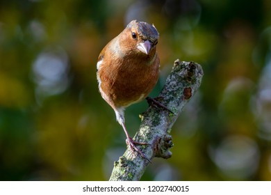 European Chaffinch (Fringilla coelebs) perched on branch looking at camera with autumn background, United Kingdom