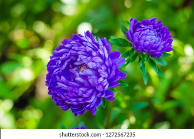 European chamomile Michaelmas (Aster amellus). Aster. Bright blue flower aster closeup. Nature. Bouquet of Flowering Callistephus chinensis. Lush fresh blue aster flowers grow in a flower garden.