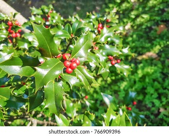 European or christmas holly, Ilex aquifolium, growing in Galicia, Spain