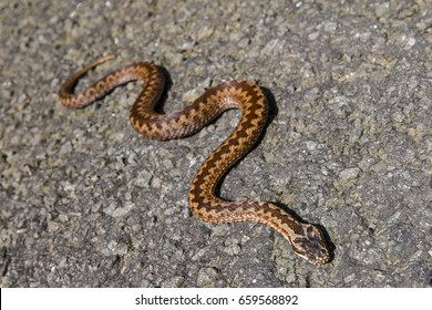 european classic poison snake viper on the ground