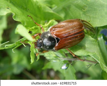 European cockchafer on the leaf