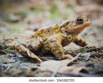 European common brown frog (Rana Temporaria) sitting still on the mud