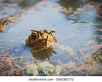 European common brown frog (Rana Temporaria) looking from the water