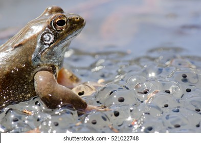 European common brown frog (Rana temporaria) massive mating, reproduction event in a mountain pond. male resting on eggs carpet.. Liguria. Italy.