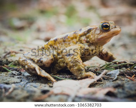 European common brown frog (Rana Temporaria) sitting still on the mud