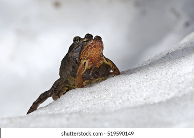 European common frog, European common brown frog, or European grass frog (Rana temporaria) wild amphibian, couple reaching pond from the wood on the snow. Ligurian Apennine. Italy.