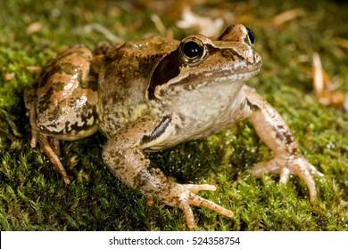 European common frog, European common brown frog, or European grass frog (Rana temporaria) macro portrait, close-up, side view. Apennine. Liguria. Italy.