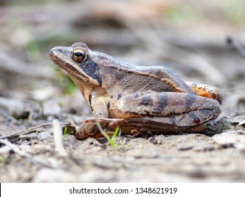 European common frog (Rana temporaria) in National Nature Reserve Sur, Slovakia