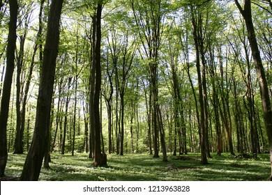 European or common hornbeam (Carpinus betulus) growing in forest in spring