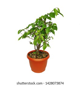 european common hornbeam isolated over white background, young bonsai in training ( Carpinus betulus )