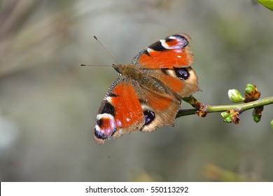 European Common Peacock butterfly (Aglais io, Inachis io) outdoor