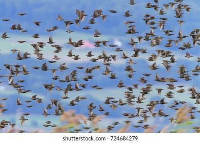 European or common starling, sturnus vulgaris, bird flock flying, Neuchatel, Switzerland