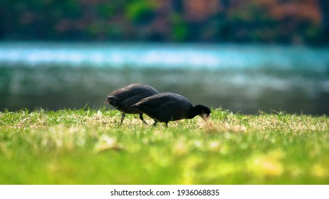 European coots (Fulica atra) nibble young grass on river Bank on a spring day. Herbivorous bird for short time