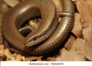 European copper skink, or also called juniper skink or European snake-eyed skink on a close up horizontal picture. A rare reptile occurring in mediterranean area.