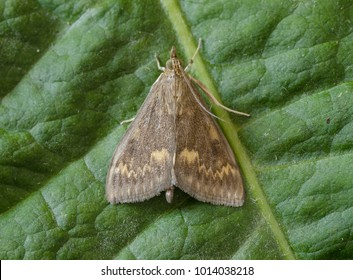 European Corn-borer moth ( Ostrinia nubilalis ) in the family Crambidae. Sitting on a green leaf.
