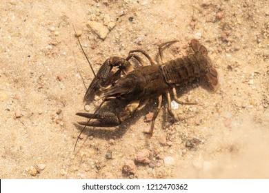 European crayfish in the water