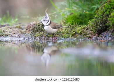 European Crested Tit drinks from a pond, the Netherlands