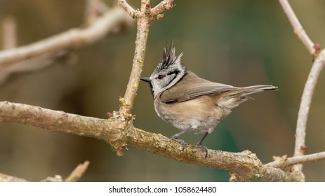European crested tit, Podlasie Region, Poland, Europe