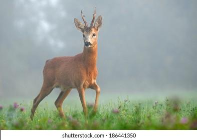 European deer in early morning. European roe deer surrounded by fog. Roe deer wildlife
