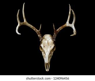 European Deer Mount Isolated on Black