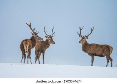 European deer in winter landscape