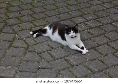 European Domestic Cat
