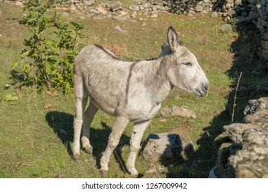 European donkey on meadow