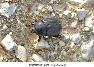 European dung beetle or dor beetle family geotrupidae also called an earth boring dung beetle crawling across a path in early autumn in Italy