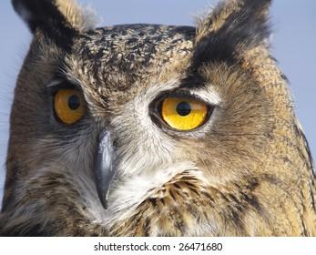 European Eagle owl.