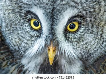 European eagle owl. Close-up face. Wisdom.