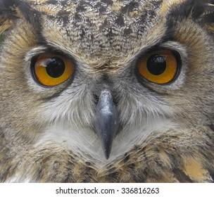 European Eagle Owl. Eurasian owl. Close up of face. Big Eyes. Wisdom