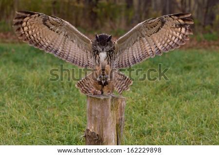 european eagle owl landing on prey stock photo edit now