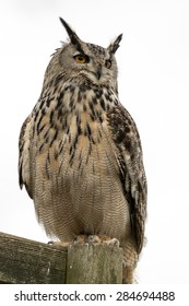 European Eagle Owl on perch with a white background.