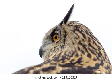 European Eagle Owl portrait