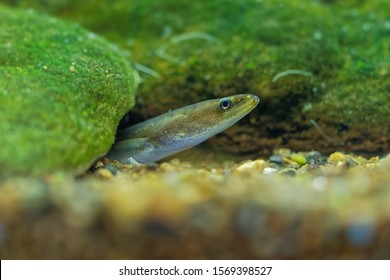 European eel - Anguilla anguilla is a species of eel, a snake-like, catadromous fish. They can reach a length of 1.5 m, juvenile eel watching out of the river bottom.