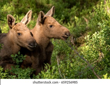 European elk Alces alces, in the forest, two young calves in the bilberry bushes, from an elk park in Norway