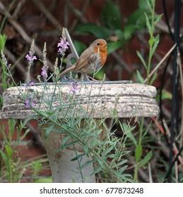 European or English Robin perched on a sundial (Erithacus Rubecula)