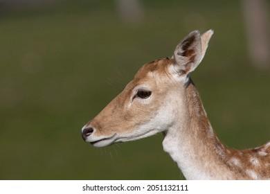 The European fallow deer or common fallow deer (Dama dama)