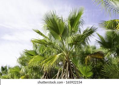 European fan palm, Chamaerops humilis as seen against the sky