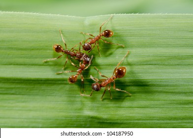european fire ants meeting