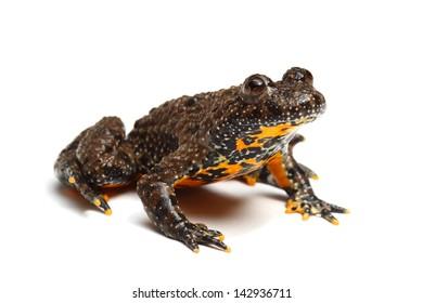 European Fire-bellied Toad (Bombina bombina) isolated on white