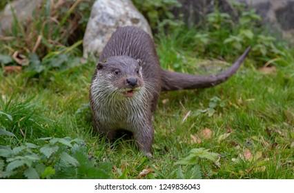 European Fish Otter Lutra Lutra